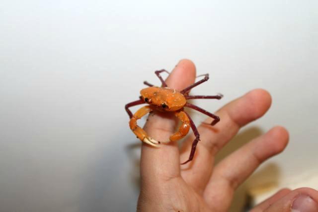 madagapotamon humberti, malagasy freshwater crab (4)
