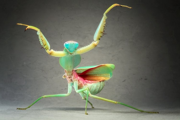 praying mantis, insects in