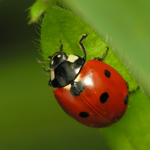 ladybug, Harmonia axyridis, insects in