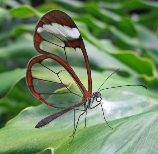 Greta oto, glasswinged butterfly (4)
