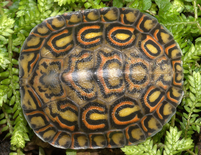 ornate wood turtle, pulcherrima manni (6)