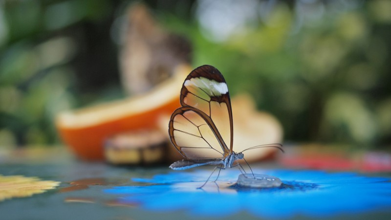 glasswinged butterfly, greta oto