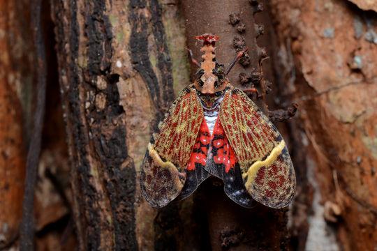 Phrictus quinquepartitus, fulgorid hopper (1)