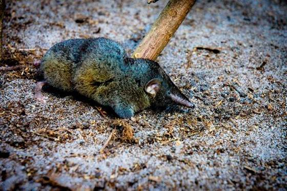 Shrew of Steel: New Species of 'Hero Shrew' Discovered With Remarkably Strong Backbone