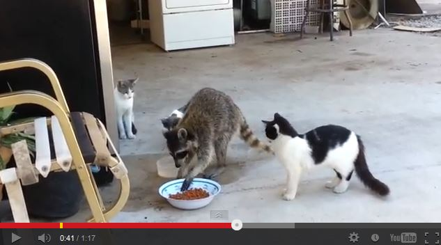 The Manners Really Are Lacking With this Hungry Raccoon