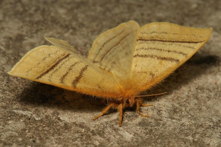 Monkey Moth, Eupterote lineosa (2)