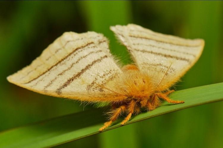 Monkey Moth, Eupterote lineosa (1)