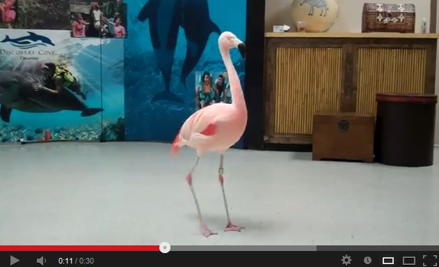 "Pinky the Flamingo Performs the ""Flamingo Flamenco"""
