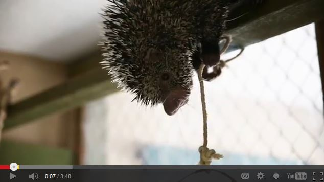 Insanely Adorable Tree Porcupine Makes Happy Noises While Eating