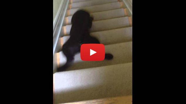 Chocolate Lab Puppy Chooses a Unique Way to Go Down the Stairs