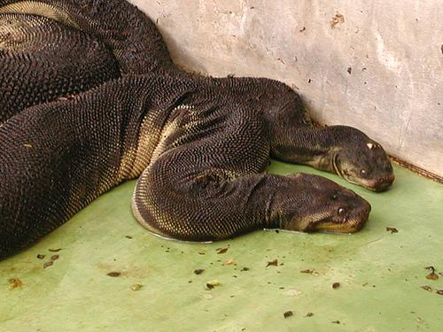 elephant trunk snake, Acrochordus javanicus (1)