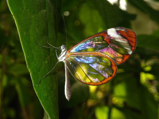 Greta oto, glasswinged butterfly (2)