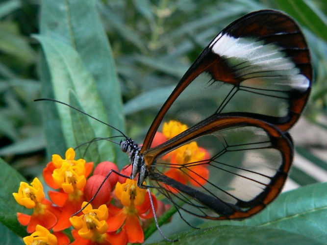 Greta oto, glasswinged butterfly (3)