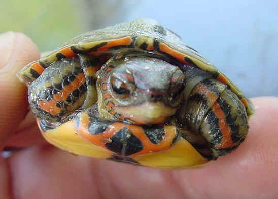 ornate wood turtle, pulcherrima manni (2)