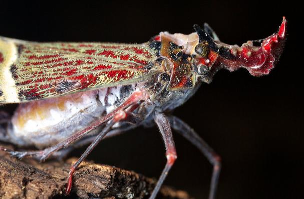 Phrictus quinquepartitus, fulgorid hopper (4)