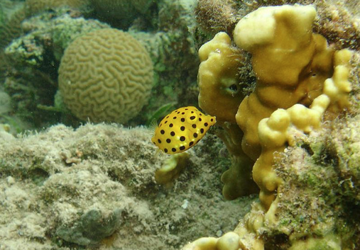 Yellow Boxfish, Ostracion cubicus (5)