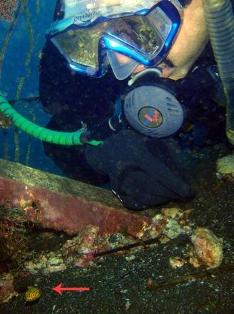 Yellow Boxfish, Ostracion cubicus (4)