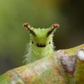 japanese emperor butterfly, Oomurasaki larva, オオムラサキ 幼虫 (3)