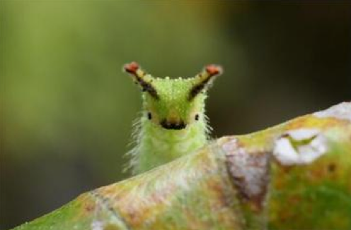 Japanese Emperor Caterpillar: What's Not to Love With a Face Like This :3