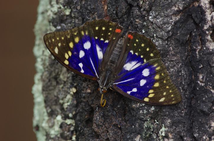 japanese emperor butterfly, Oomurasaki larva, オオムラサキ 幼虫