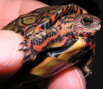 ornate wood turtle, pulcherrima manni (5)