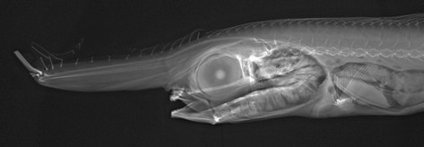 unicorn crestfish, Eumecichthys fiski (3)