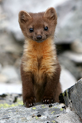 Pine Martens Happen To Be Shockingly Cute. Who Knew