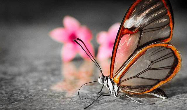 Greta oto, glasswinged butterfly (1)