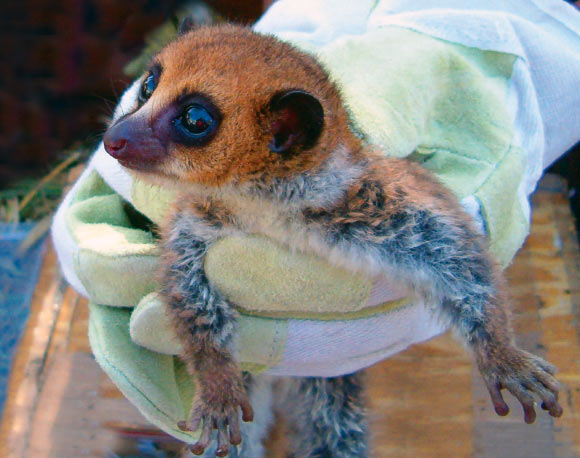 Extremely Rare Lavasoa Dwarf Lemur Discovered in Remote Madagascan Forests