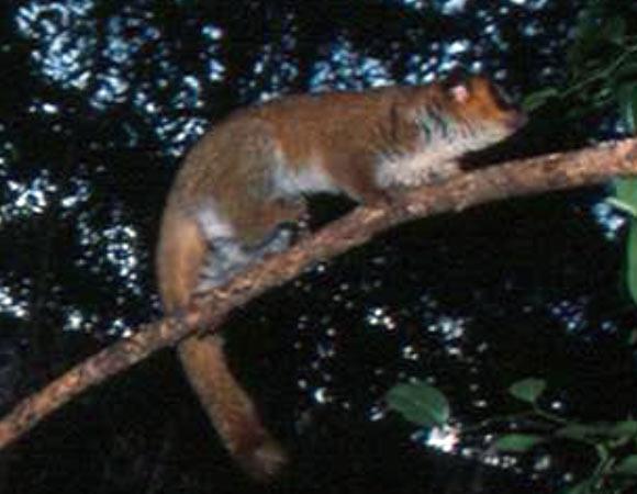 Lavasoa Dwarf Lemur, Cheirogaleus lavasoensis (2)