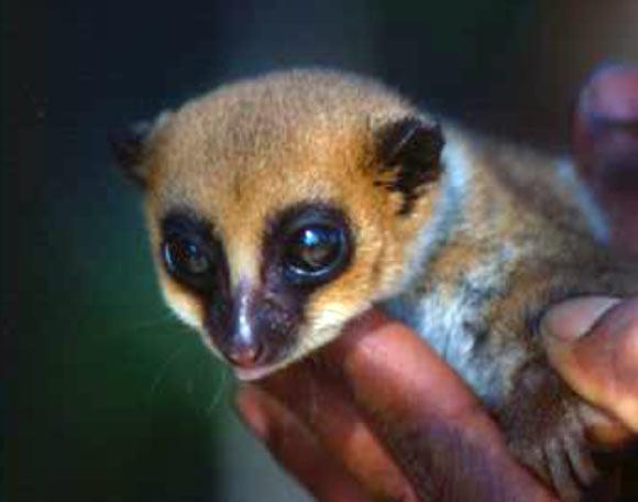Lavasoa Dwarf Lemur, Cheirogaleus lavasoensis (1)