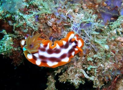 New Week Nudibranch: Hypselodoris purpureomaculosa