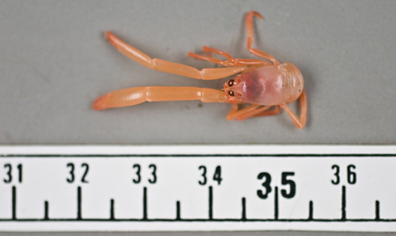 New Species of Teeny-Tiny Crustacean Discovered!