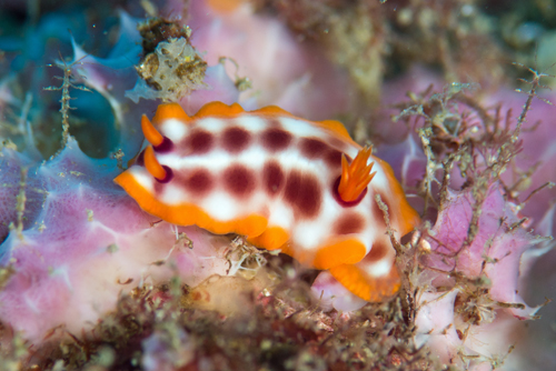 new week nudibranch, Hypselodoris purpureomaculosa (1)