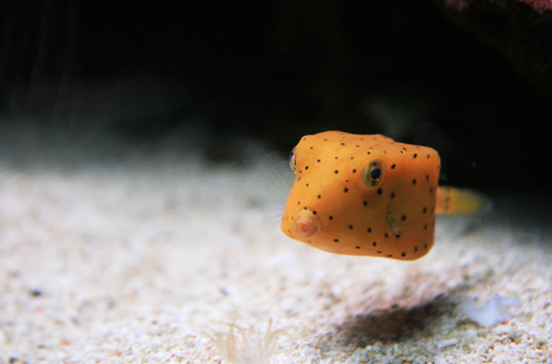 Yellow Boxfish, Ostracion cubicus (2)
