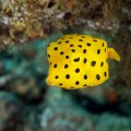 Yellow Boxfish, Ostracion cubicus (1)