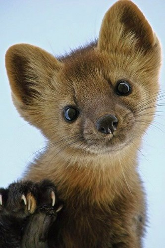 pine martens happen to be shockingly cute who knew featured creature. Black Bedroom Furniture Sets. Home Design Ideas