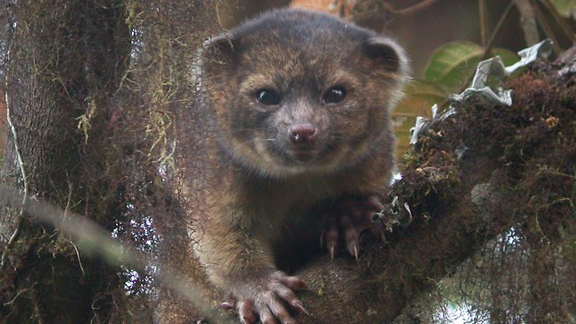 olinguito, new species