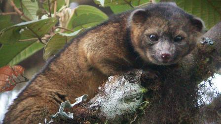 Olinguito, New Mammal Species With a Teddy Bear Face and Cat-like Body… Found!