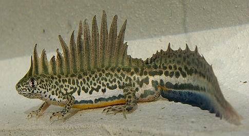 Triturus vittatus, southern banded newt (4)