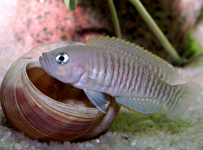 Tanganyikan dwarf cichlids, Neolamprologus multifasciatus (5)