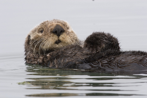 sea otter pet rock, little-known facts