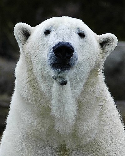 polar bear skin, little-known facts