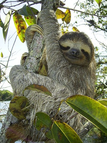 brown-throated three-toed sloth, Bradypus variegatus, little-known facts