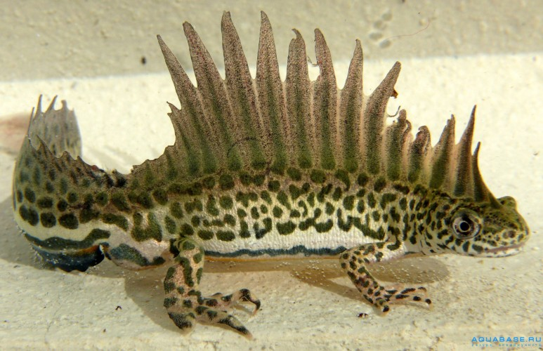 The Southern Banded Newt Looks Just Like a Real-Life Water Dragon!