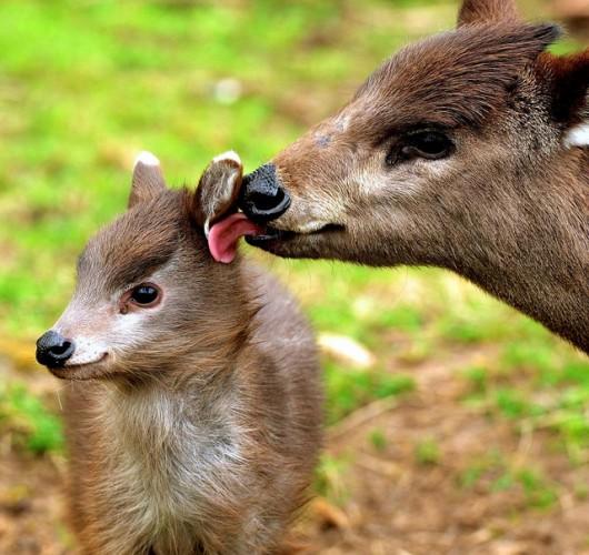 tufted deer, Elaphodus cephalophus (3)