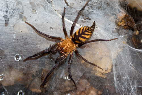 The Tiger Spider, Bolivia's Own Ferocious Striped Predator