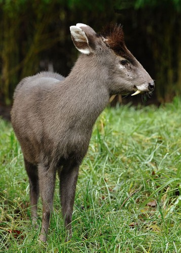 tufted deer, Elaphodus cephalophus (4)
