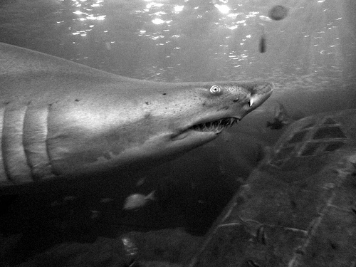 sand tiger shark, little-known facts