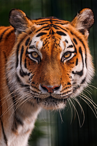 10 of the Most Interesting (and Unusual) Tiger Facts